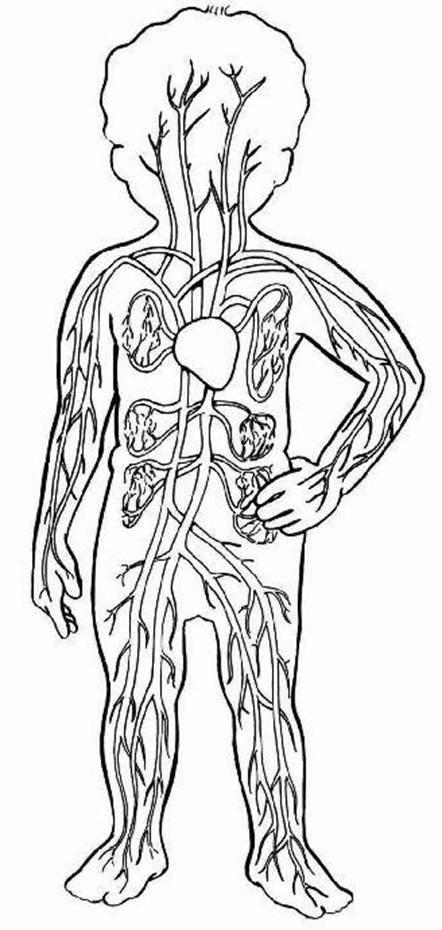 кровеносная система человека картинки карандашом думаю