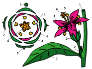 https://upload.wikimedia.org/wikipedia/commons/thumb/d/d9/Flower_diagram.svg/250px-Flower_diagram.svg.png