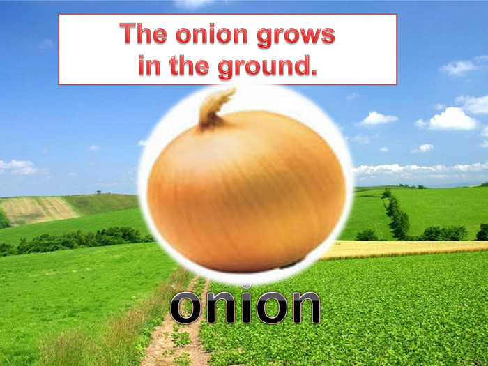 The onion growsin the ground.onion