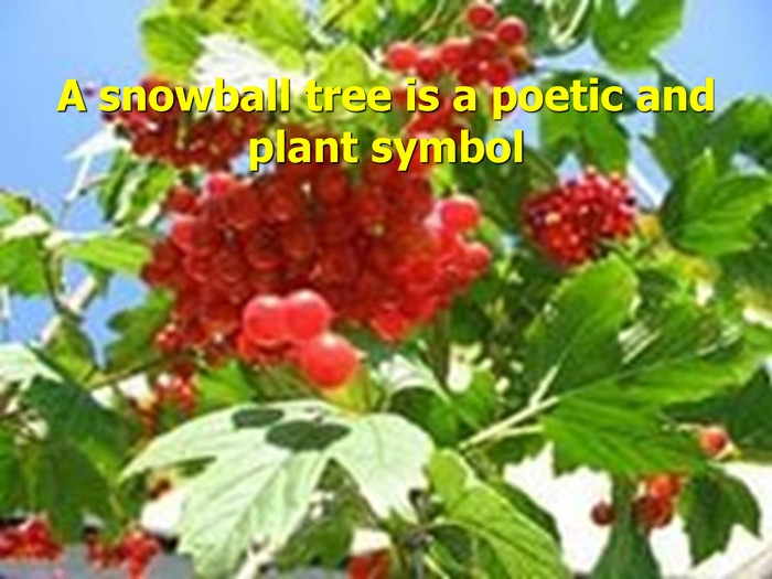 A snowball tree is a poetic and plant symbol