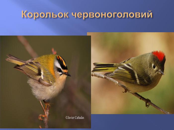 Презентація: Птахи Полтавщини