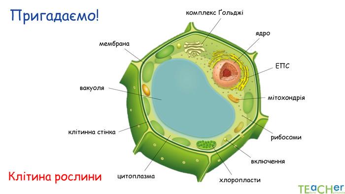 """Презентація до уроку: """"Будова рослинної і тваринної клітин"""""""