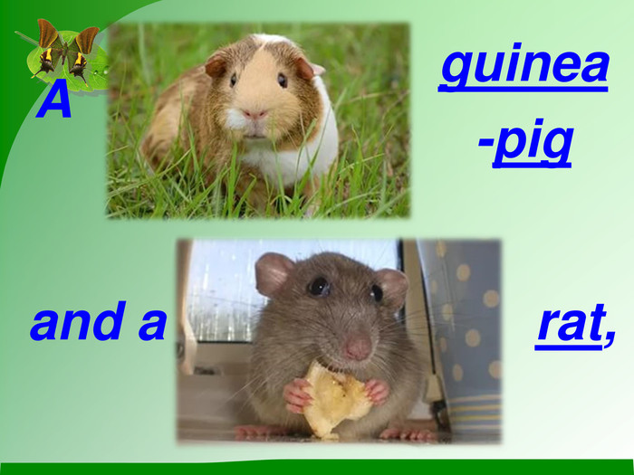 A  guinea