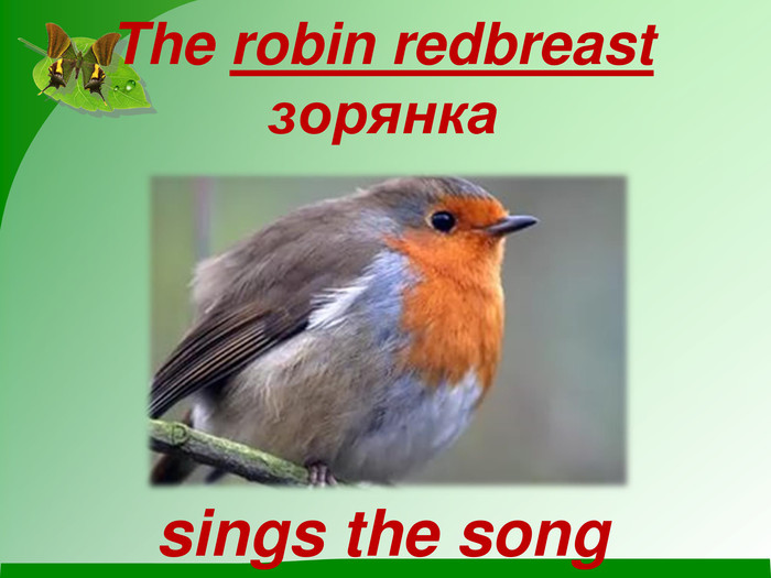 The robin redbreast  зорянка      sings the song
