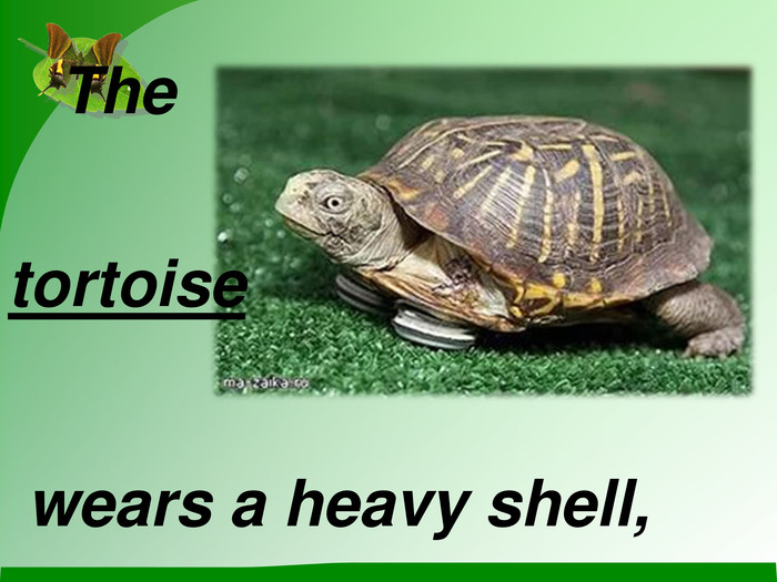 The tortoise wears a heavy shell,