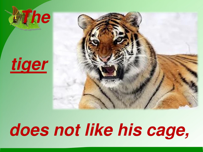 The does not like his cage,  tiger