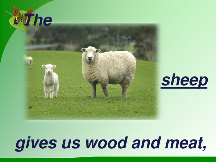 The sheep gives us wood and meat,