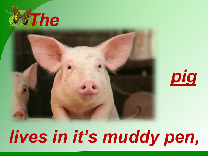 The pig lives in it's muddy pen,