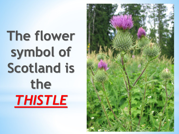 The flower symbol of Scotland is the THISTLE