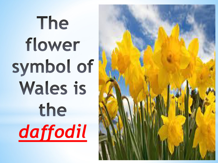 The flower symbol of Wales is the daffodil