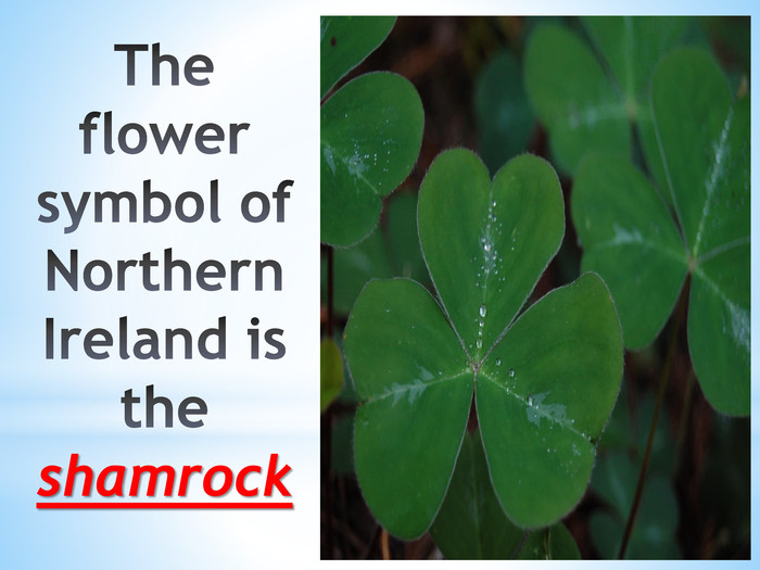 The flower symbol of Northern Ireland is the shamrock