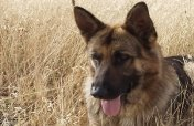C:\Users\1\Desktop\1038568__german-shepherd_p.jpg