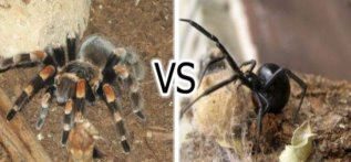 C:\Users\1\Desktop\1366146801_tarantula-vs-black-widow-01.jpg