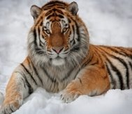 http://www.wallsave.com/wallpapers/640x480/wild-cats-tiger/137115/wild-cats-tiger-in-the-snow-and-images-137115.jpg