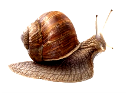 https://previews.123rf.com/images/egal/egal1306/egal130600011/20270664-Land-snail-isolated-on-white-background-Stock-Photo.jpg