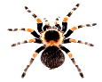 https://thumbs.dreamstime.com/z/red-knee-tarantula-11130541.jpg