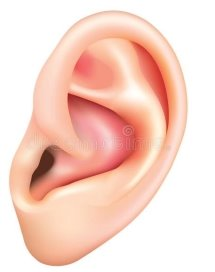 D:\ENGLISH\2klas\ЧАСТИНИ ТІЛА\human-ear-isolated-white-vector-photo-realistic-illustration-49749511.jpg