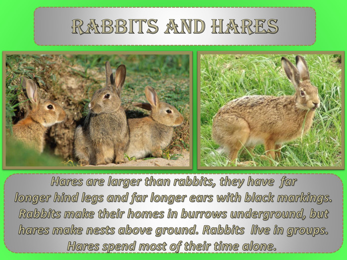 Rabbits and hares. Hares are larger than rabbits, they have far longer hind legs and far longer ears with black markings. Rabbits make their homes in burrows underground, but hares make nests above ground. Rabbits live in groups. Hares spend most of their time alone.