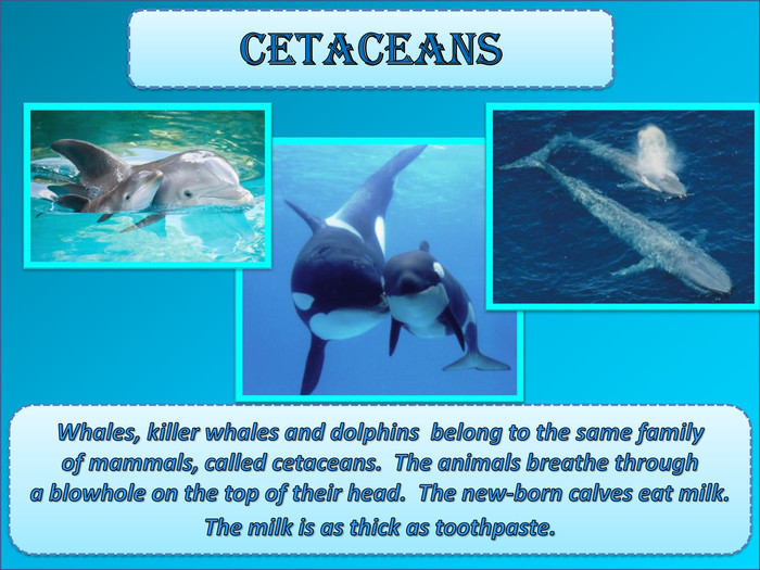 Cetaceans. Whales, killer whales and dolphins belong to the same family of mammals, called cetaceans. The animals breathe through a blowhole on the top of their head. The new-born calves eat milk. The milk is as thick as toothpaste.