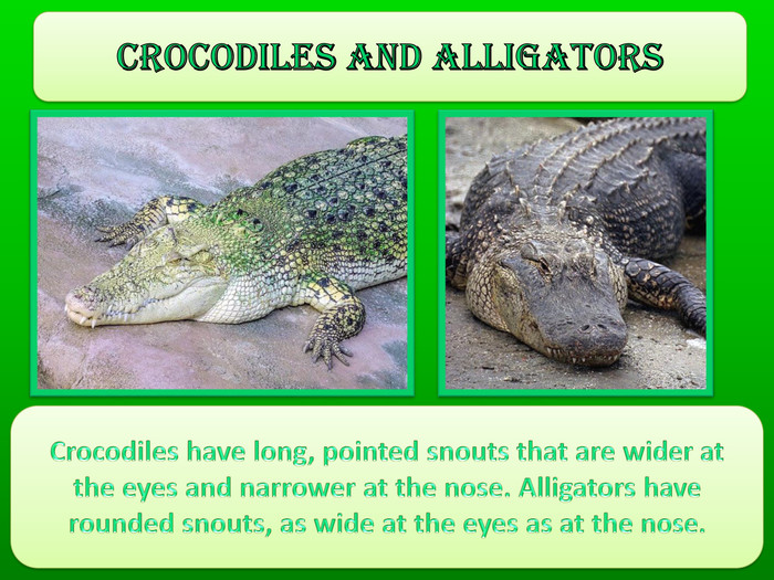 Crocodiles and alligators. Crocodiles have long, pointed snouts that are wider at the eyes and narrower at the nose. Alligators have rounded snouts, as wide at the eyes as at the nose.