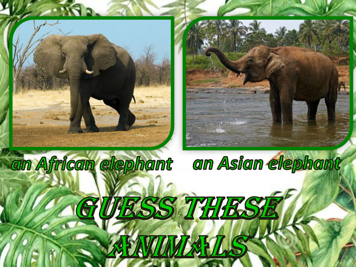 Guess these animalsan African elephantan Asian elephant