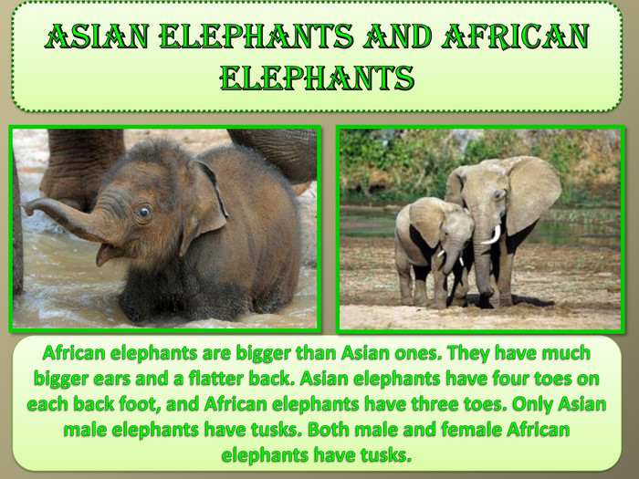 Asian elephants and African elephants. African elephants are bigger than Asian ones. They have much bigger ears and a flatter back. Asian elephants have four toes on each back foot, and African elephants have three toes. Only Asian male elephants have tusks. Both male and female African elephants have tusks.