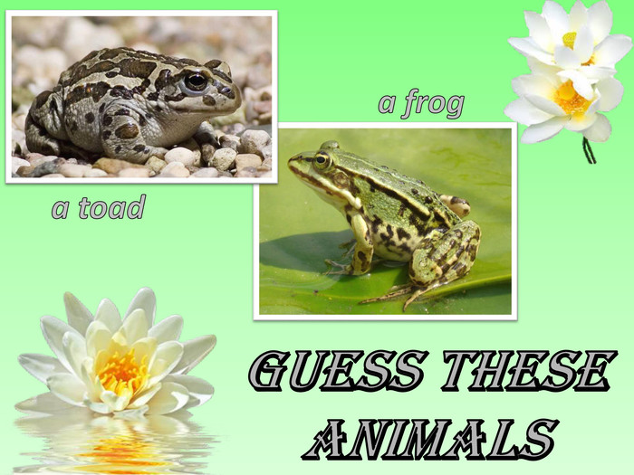 Guess these animalsa froga toad