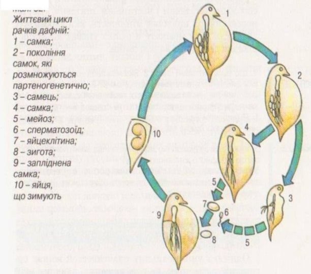 """Конспект уроку """" Життєві цикли рослин і тварин"""" з біології у 11 класі"""