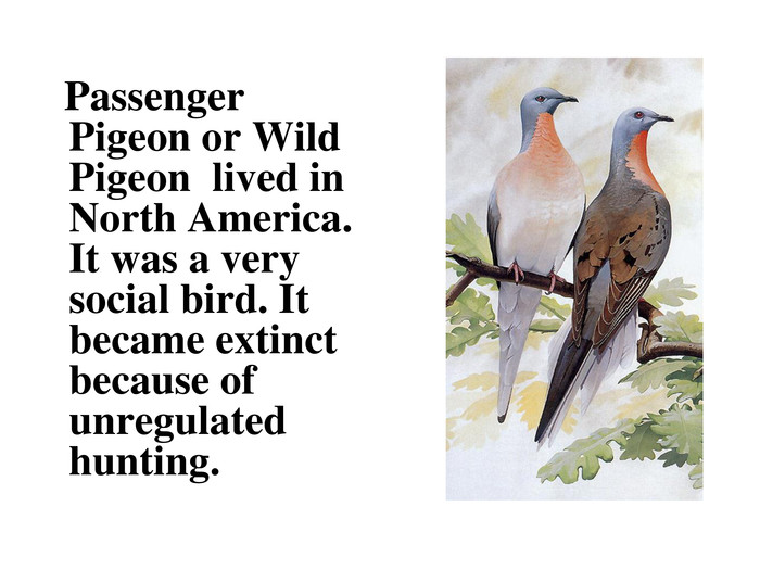 Passenger Pigeon or Wild Pigeon  lived in North America. It was a very social bird. It became extinct because of unregulated hunting.