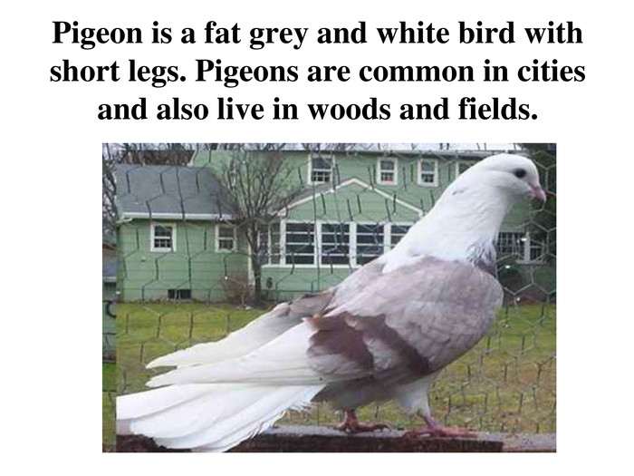 Pigeon is a fat grey and white bird with short legs. Pigeons are common in cities and also live in woods and fields.