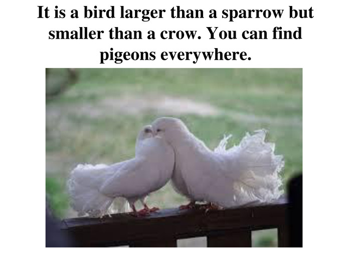 It is a bird larger than a sparrow but smaller than a crow. You can find pigeons everywhere.