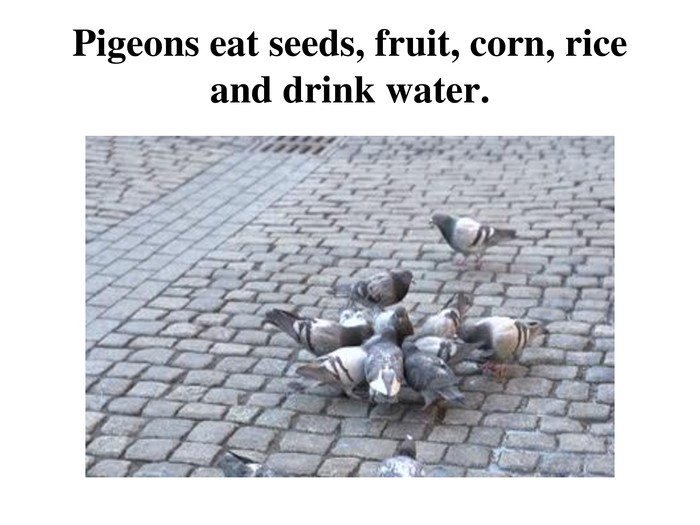 Pigeons eat seeds, fruit, corn, rice and drink water.