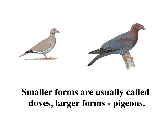 Smaller forms are usually called doves, larger forms - pigeons.