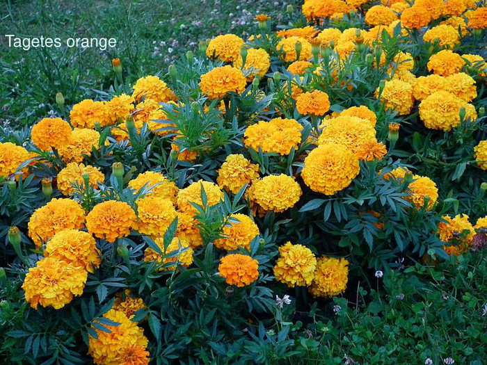 Tagetes orange